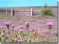 Purple heather above Goathland