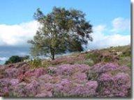 Purple heather in Goathland