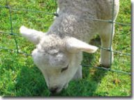 Spring lamb through fence