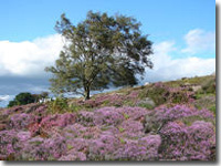 Purple heather in Goathland