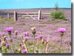 Purple heather of Autumn, on the moors